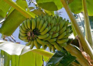 незрелый банан
