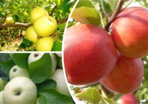 разрешенные сорта яблок при панкреатите