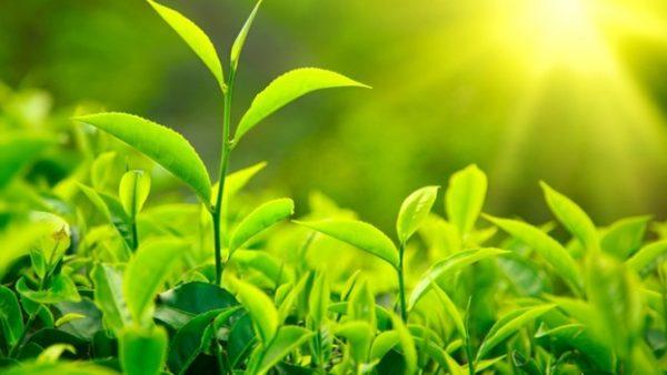 чай растет