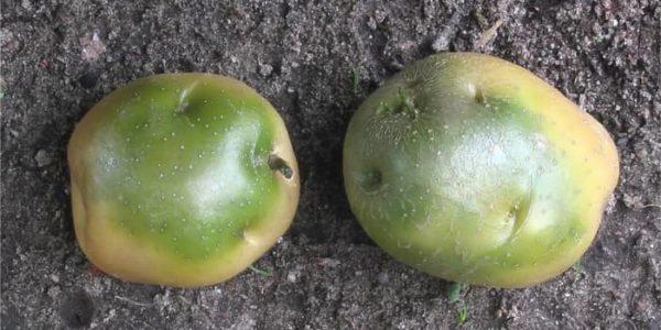 картофель с зеленым пятном