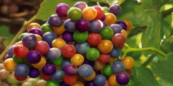 редкий сорт винограда