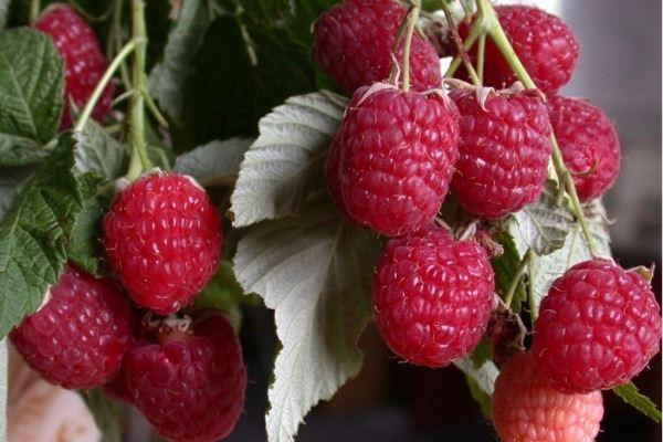 употребление ягоды